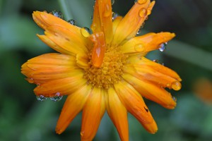 marigold-1568630_960_720
